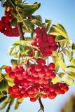 Moget rött ashberry Arkivbild