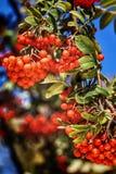 Moget rött ashberry Arkivfoton