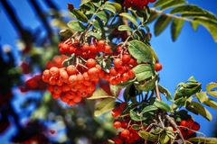 Moget rött ashberry Royaltyfri Foto