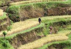 Moget ris terrasserar, Tegalalang, Bali, Indonesien Arkivbilder