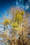 Moget träd med mistel Arkivfoto