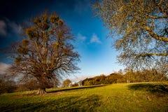 Moget träd med mistel Royaltyfria Bilder
