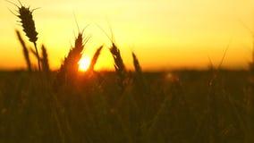 Moget vetefält i de guld- strålarna av soluppgång härliga öron med mogen korngungning i vinden N?rbild Mogen s?desslag lager videofilmer