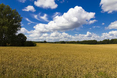 Moget vetefält med molnig blå himmel Arkivbilder