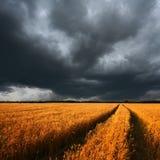 Moget vetefält och dramatiska moln Arkivfoto