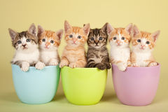 Moggie kittens. A litter of Moggie kittens sitting inside colorful containers in front of greenish studio background
