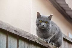Moggy cat watching surroundings. Moggy female cat watching surroundings while sitting on the fence royalty free stock photo