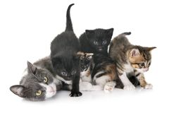 Moggy kitten and cat. Moggy kitten and mother in front of white background royalty free stock photos