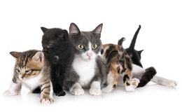 Moggy kitten and cat. Moggy kitten and mother in front of white background stock photo