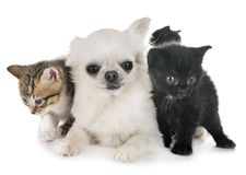 Moggy kitten and chihuahua. In front of white background stock image