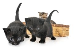 Moggy kitten in studio. Moggy kitten in front of white background royalty free stock images