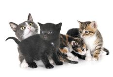 Moggy kitten and cat. Moggy kitten and mother in front of white background royalty free stock image