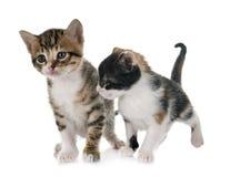 Moggy kitten in studio. Moggy kitten in front of white background royalty free stock image