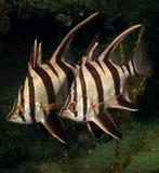 Mogli anziane (armatus) di Enoplosus - molo di Busselton Immagine Stock