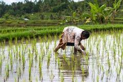 Moglie dell'agricoltore del riso sul lavoro Fotografia Stock Libera da Diritti