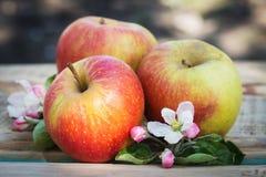 mogna äpplen Royaltyfri Foto