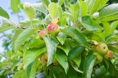Mogna äpplen för lös krabba på ett träd Arkivbild