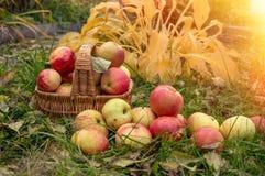 Mogna äpplen i en korg på gräset Tacksägelsefest Äpplen för äppeljuicedanande Arkivfoto