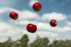 Mogna äpplen i nollgravitation som kastas in i luften Royaltyfri Fotografi