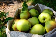 Mogna äpplen i påse Plockningtid close upp Selektivt fokusera royaltyfria foton