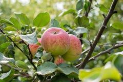 Mogna äpplen på äppleträd arkivfoto