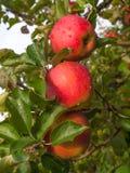 Mogna äpplen på trädet Arkivbild