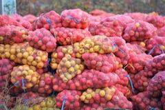 Mogna äpplen som är samlat klart för lätthet för industriell produktion arkivfoton