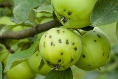 Mogna äpplen som hänger på en filial Arkivbilder