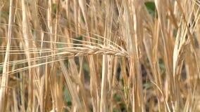 Mogna öron av korn som svänger i vinden arkivfilmer