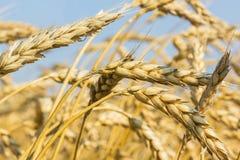 Mogna öron av vete i ett fält, makro arkivfoto