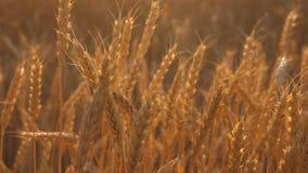 Mogna öron med moget korn svänger vid vinden N?rbild gul veteåker för mogen sädes- skörd i det guld- lager videofilmer