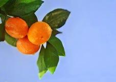 Mogna apelsiner eller tangerin som hänger på en treе på backgrounde för blå himmel Närbild Royaltyfria Bilder