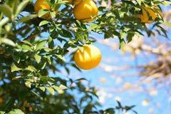 Mogna apelsiner i trädet som är klart att skördas Arkivbilder