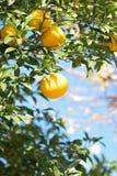 Mogna apelsiner i trädet som är klart att skördas Arkivfoto