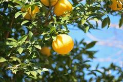 Mogna apelsiner i trädet som är klart att skördas Fotografering för Bildbyråer