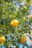 Mogna apelsiner i trädet som är klart att skördas Royaltyfri Fotografi