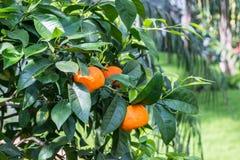 Mogna apelsiner på ett orange träd Royaltyfria Bilder