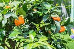 Mogna apelsiner på ett orange träd Royaltyfri Fotografi