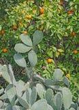 Mogna apelsiner på filialer Arkivfoto