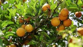 Mogna apelsiner på träd i trädgård arkivfilmer