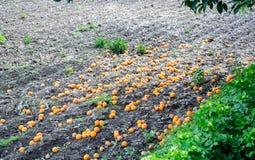 Mogna apelsiner som är stupade på jordningen under ett träd arkivbild