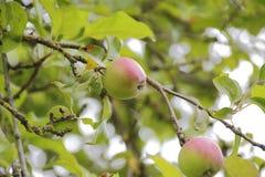 Mogna Apple i fruktträdgård Royaltyfria Foton