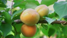 Mogna aprikors i fruktträdgård arkivfilmer