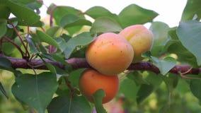 Mogna aprikors i fruktträdgård stock video