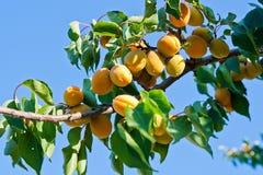 Mogna aprikors som växer på aprikosträdet Fotografering för Bildbyråer