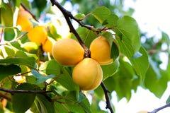 Mogna aprikors som växer på aprikosträdet Arkivbilder
