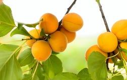 Mogna aprikors växer Arkivfoto