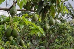 Mogna avokadon på träd arkivfoto