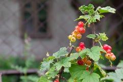 Mogna bär för röd vinbär på buskefilialer Royaltyfria Bilder
