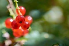 Mogna bär för röd vinbär stänger sig upp Royaltyfri Foto